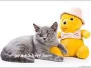 Британские голубые котята с доставкой