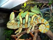 Продам Йеменский вуалевый хамелеон (Chameleo caluptratus)
