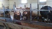 термобельем цены на коров в казахстане молочные вам