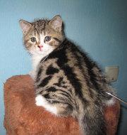 Продажа породистых котят в Алматы