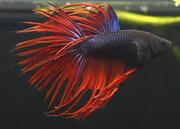 продажа аквариумныхрыб собственного разведения в широком ассортименте каждая 10 рыбка бесплатно