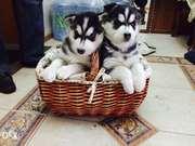 Продаются щенки Сибирский Хаски
