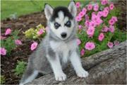 очаровательные сибирские щенки хаски