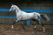Продаже уникальных Ахалтекинских лошадей