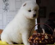 Щенки самоедской собаки от Чемпиона