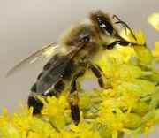 Продам пчёл Карпатка