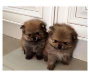 немецкие щенки