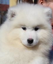 Щенки самоедской собаки от Чемпиона РК