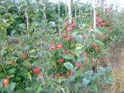 Польские зимние яблоки в Казахстане