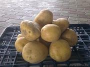 Продам картофель семенной двух сортов - Санта(45 тенге) и Пикассо(48 т