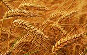 Продажа пшеницы оптом с элеватора