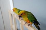 Продаю попугая - Солнечный Аратинга!