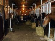 свежая конина,  лошади живьем