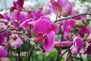 Акция- орхидея по 2500тг.