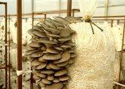 Мицелий съедобных грибов