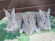 Продам кроликов породы фландер и шиншилла