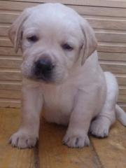 Продам собаку лабрадор-ретривер