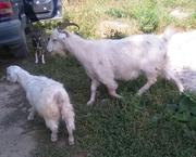 продам козу с козленком или поменяю