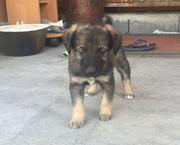 Собаки и щенки. Надежные друзья и охранники для дома и семьи в Алматы