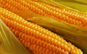 Продам Кукурузу в ЗЕРНЕ