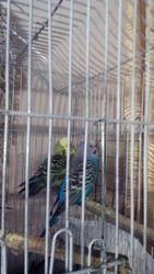 Волнистые попугайчики.