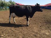 Коровы голштино-фризской породы