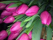 цветы,  тюльпаны 8 марта
