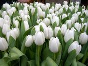 Тюльпаны к 8му марту