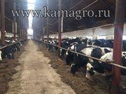 Молочные дойные коровы