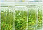 Размножение растений in vitro