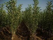 Саженцы плодовых деревьев Сербия