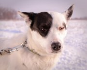 Собака Аляска из приюта