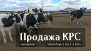 Продажа племенных пород КРС живым весом молочного направления.