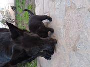 Щенки Немецкой овчарки чёрного окраса