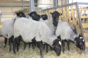 Овцы,  ягнята,  жывой вес Украина
