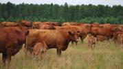 Корова жывой вес Украина